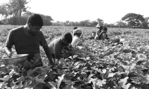 Certified Agriculturist - Cultivation of vegetables
